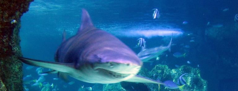 Hai im Sydney Aquarium